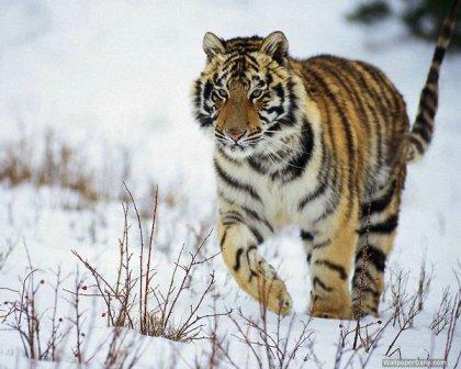 tigre-caminando-en-la-nieve